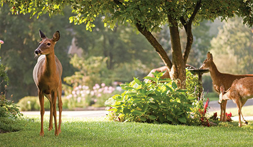 deer_in_your_yard